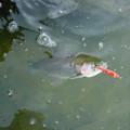 ニジマスのルアー釣り