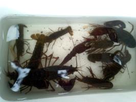 ザリガニ釣りの釣果