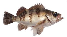 メバリング(メバルのルアー釣り)タックルの基本