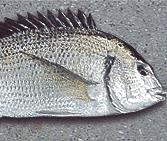 チニング チヌの種類 ミナミクロダイ