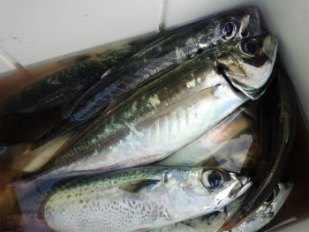 今釣れる魚 10月頃