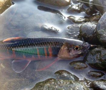 川の魚釣りでのマナー 魚を素手で持つときの注意